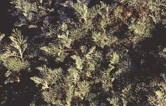 Alsem - Artemisia michauxiana