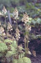 Schuimbloem - Tiarella cordifolia 'Moorgrün'
