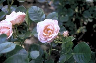 Trosroos - Rosa 'Astrid Lindgren'