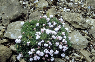 Bedstro - Asperula gussonii