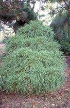 Japanse cipres - Cryptomeria japonica 'Globosa'