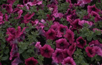 Petunia 'Polo Orchid Veined'