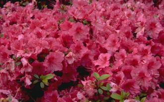Rododendron - Rhododendron 'Vuyk's Rosyred'