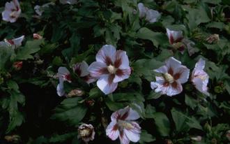 Heemstroos - Hibiscus syriacus 'Hamabo'