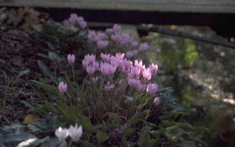 Cyclaam - Cyclamen hederifolium