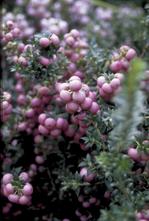 Parelbes - Pernettya mucronata 'Rosea'