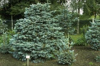 Echte kerstboom - Bergzilverspar - Abies Lasiocarpa 'Compacta'
