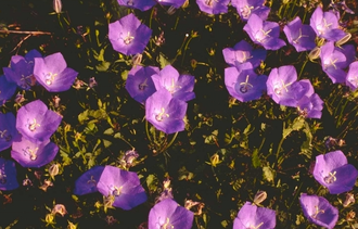 Karpatenklokje - Campanula carpatica