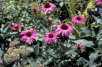 Rode Zonnehoed - Echinacea purpurea 'The King'