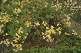 Verbena - Verbena bonariensis
