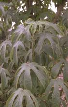 Stekelboom - Kalopanax septemlobus var. maximowiczii
