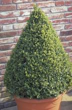 Palmboompje - Buxus sempervirens 'Pyramide'