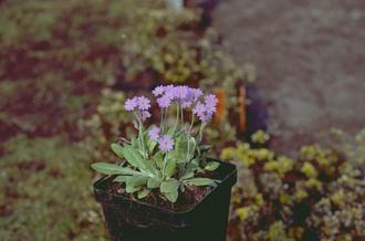 Sleutelbloem - Primula frondosa