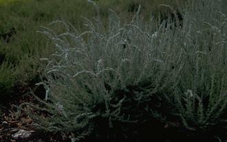 Struikhei - Calluna vulgaris 'Silver Knight'