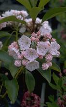 Lepeltjesboom - Kalmia latifolia