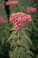 Koninginnenkruid - Eupatorium cannabinum 'Plenum'