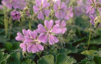Ooievaarsbek - Geranium 'Philippe Vapelle'