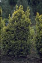 Taxus - Taxus baccata 'Judith'