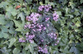Rotsanjer - Dianthus gratianopolitanus 'Badenia'