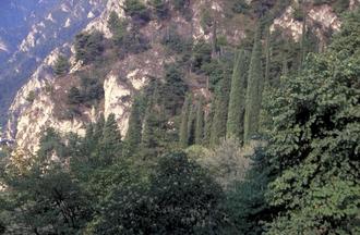 Italiaanse cipres - Cupressus sempervirens 'Stricta'
