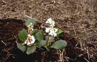 Schoenlappersplant - Bergenia 'Brahms'