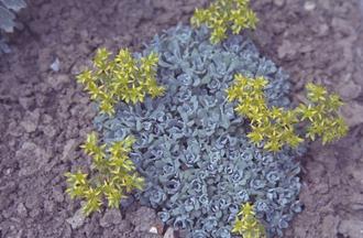 Vetkruid - Sedum spathulifolium