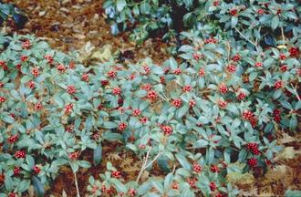 Skimmia japonica 'Veitchii'
