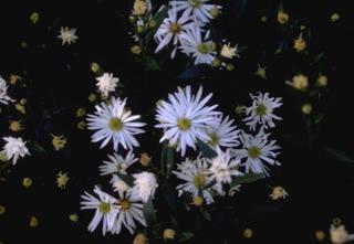Kattenkruid - Nepeta x faassenii 'Snowflake'