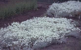 Hoornbloem - Cerastium biebersteinii