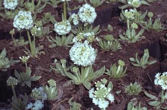 Kogelprimula - Primula denticulata 'Alba'