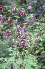 Akelei - Aquilegia viridiflora 'Chocolate Soldier'