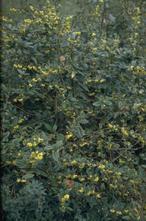 Zuurbes - Berberis julianae