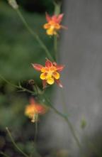 Akelei - Aquilegia formosa var. truncata