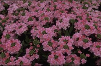 IJzerhard - Verbena 'Romance Pink'