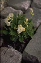 Tuinaurikel - Primula x pubescens 'Bewerly White'
