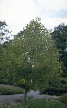 Tulpenboom - Liriodendron tulipifera 'Aureomarginatum'