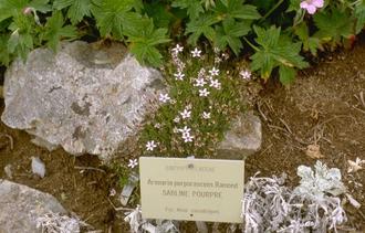 Zandmuur - Arenaria purpurascens