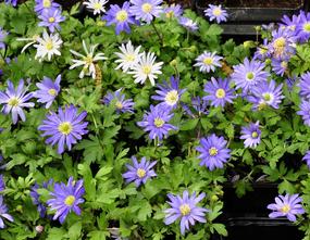 Blauwe Anemoon - Anemone blanda