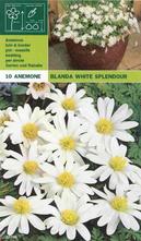 Blauwe Anemoon - Anemone 'White Splendour'