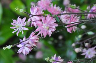 Wilde Akelei - Aquilegia vulgaris 'Plena'