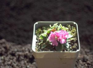 Sleutelbloem - Primula latifolia