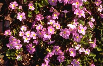 Sleutelbloem - Primula 'Groenekan's Glorie'