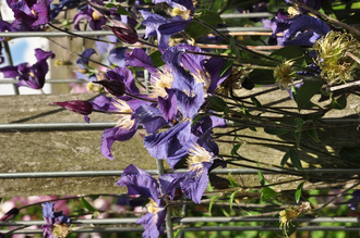 Clematis 'Blue Pirouette'
