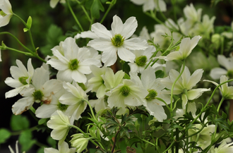 Bosrank - Clematis 'Early Sensation'
