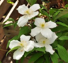 Bosrank - Clematis montana 'Grandiflora'
