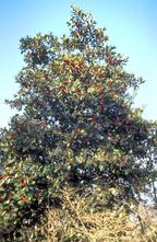 Hulst - Ilex altaclerensis 'Camelliifolia'