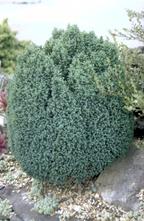 Dwergcipres - Chamaecyparis lawsoniana 'Nymph'