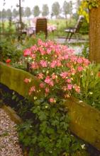 Wilde Akelei - Aquilegia vulgaris 'Garden Party'