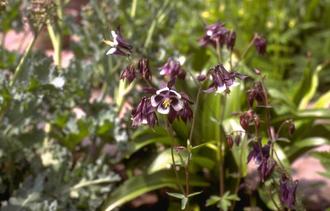 Wilde Akelei - Aquilegia vulgaris 'Adelaide Addison'