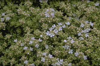 Tijm - Thymus 'Hartington Silver'